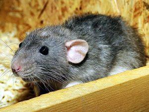 Крыса в доме - к удаче и благополучию!