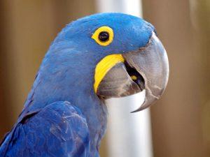 Синяя птица счастья - гиацинтовый ара