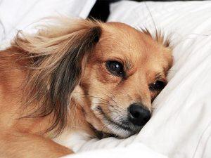 Почему собака будит хозяина ночью