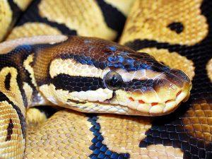 Золотистый уж - змея, способная летать