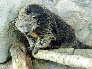 Бинтуронг - кошачий медведь