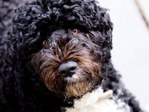Кан-диагуа - водяная собака